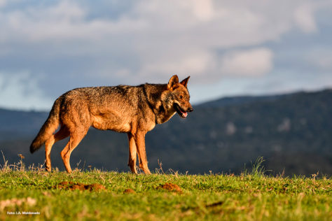 foto lobo ibérico