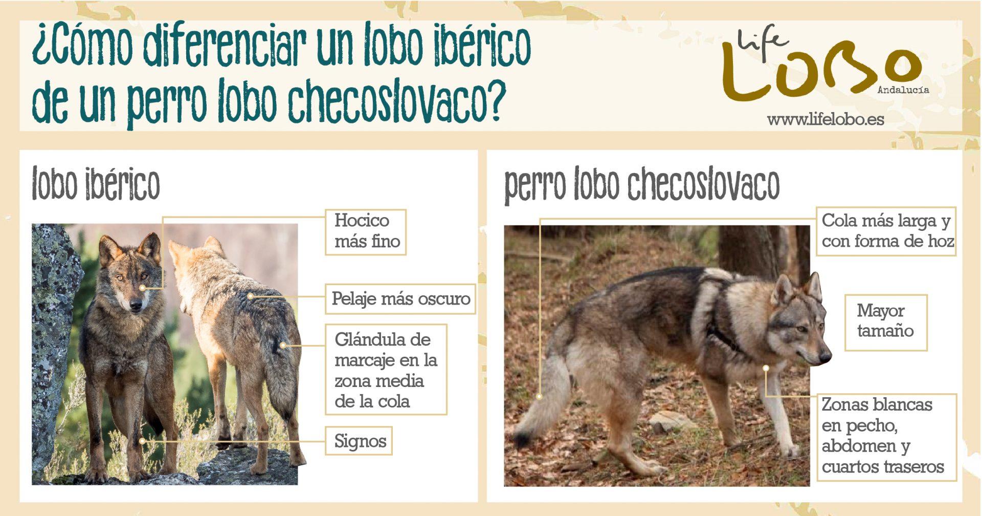 Lobo Ibérico Y Perro Lobo Checoslovaco En Qué Se Parecen Y